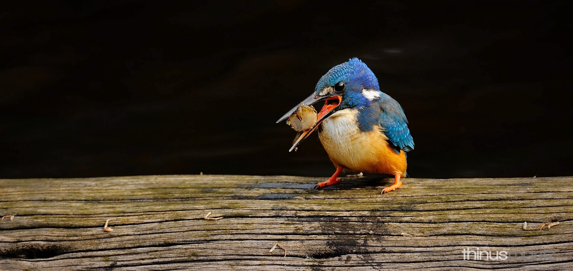 wildlife-halfcollared-kingfisher
